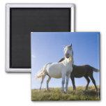 UK, Wales, Brecon Beacons NP. Wild Pony Fridge Magnets