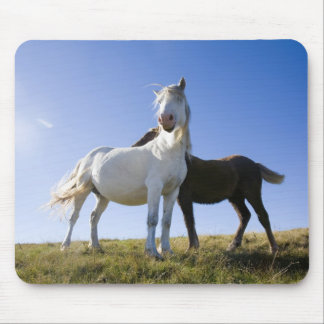 UK, Wales, Brecon Beacons NP. Wild Pony Mouse Pads