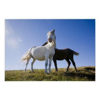 UK, Wales, Brecon Beacons NP. Wild Pony Poster