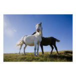 UK, Wales, Brecon Beacons NP. Wild Pony Poster