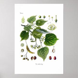ulmifolia del tilia (tilo) posters