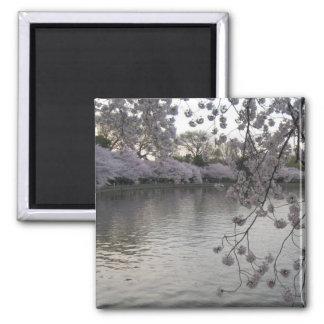 última hora de la tarde de las flores de cerezo imán cuadrado
