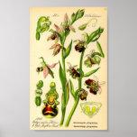 Última orquídea de araña (fuciflora del Ophrys) Posters