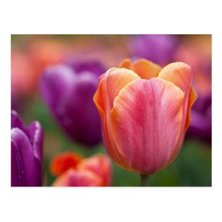 Último tulipán anaranjado y rosado postal