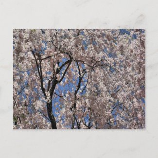 Umbrella Of Blossoms Flower Photo Postcard postcard