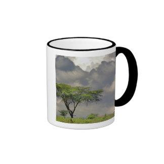Umbrella Thorn Acacia, Acacia tortilis, and 2 Coffee Mugs
