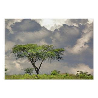 Umbrella Thorn Acacia, Acacia tortilis, and 2 Photo Print