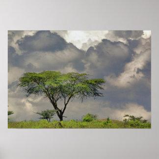 Umbrella Thorn Acacia, Acacia tortilis, and 2 Print