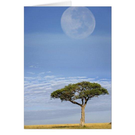 Umbrella Thorn Acacia, Acacia tortilis, and Card