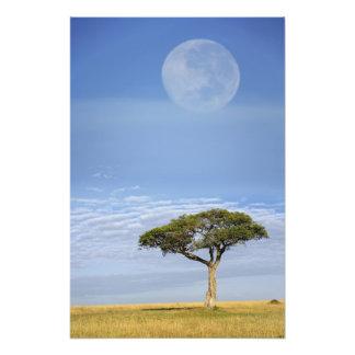 Umbrella Thorn Acacia, Acacia tortilis, and Photo Print