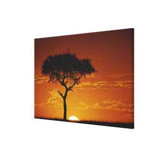 Umbrella Thorn Acacia, Acacia tortilis, Stretched Canvas Prints