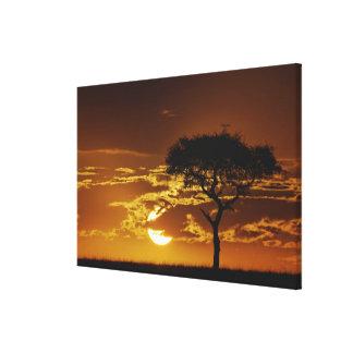 Umbrella Thorn Acacia, Acacia tortilis, Gallery Wrapped Canvas
