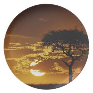 Umbrella Thorn Acacia, Acacia tortilis, Dinner Plate