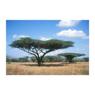 Umbrella Thorn Acacia (Acacia tortilis), Mkuze Stretched Canvas Print