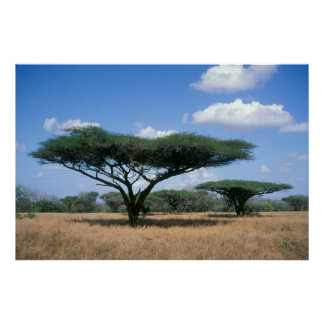 Umbrella Thorn Acacia (Acacia tortilis), Mkuze Poster