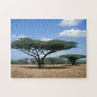 Umbrella Thorn Acacia (Acacia tortilis), Mkuze Puzzle