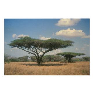 Umbrella Thorn Acacia (Acacia tortilis), Mkuze Wood Prints