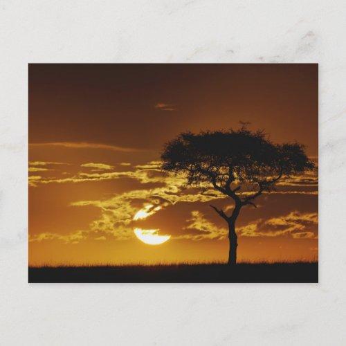 Umbrella Thorn Acacia Acacia tortilis Postcard