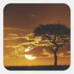 Umbrella Thorn Acacia, Acacia tortilis, Square Sticker