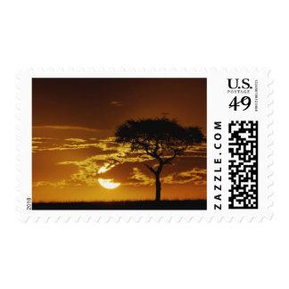 Umbrella Thorn Acacia, Acacia tortilis, Stamp