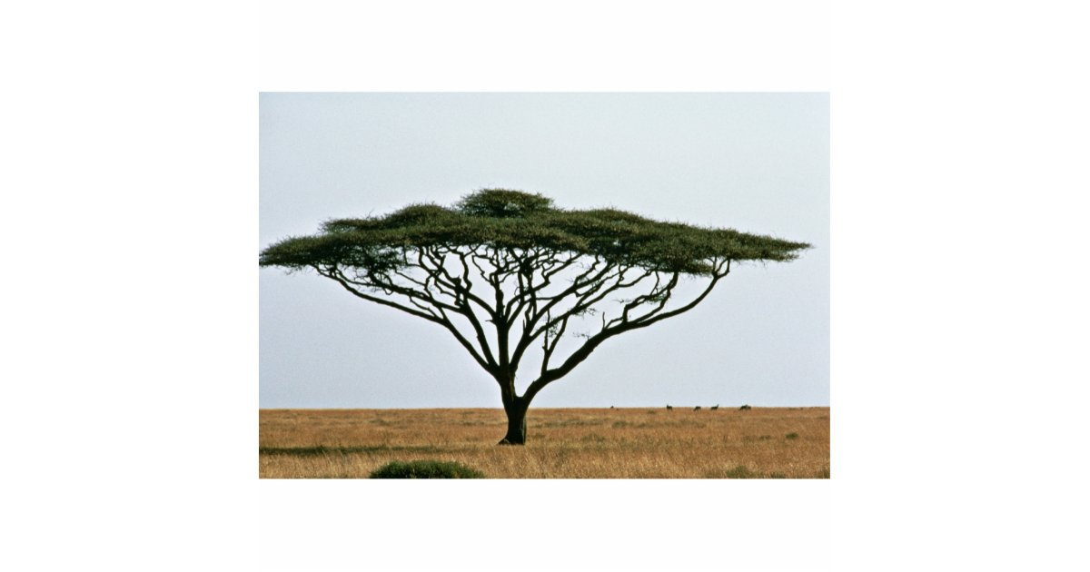 Umbrella Thorn Acacia Tree Cutout