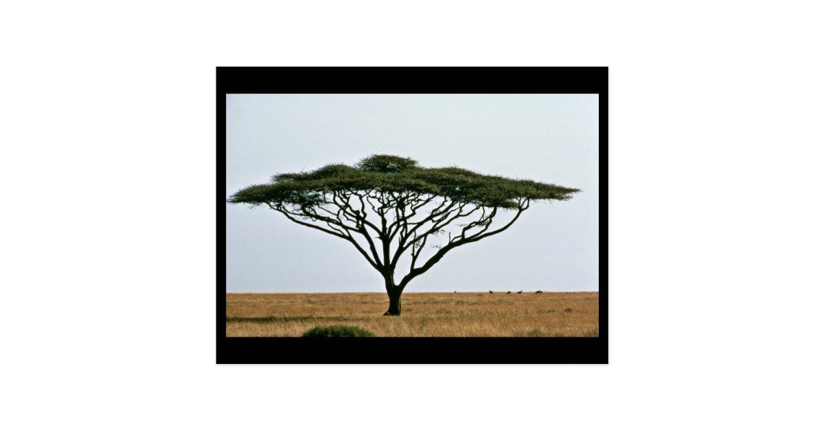 Umbrella Thorn Acacia Tree Postcard Zazzlecom