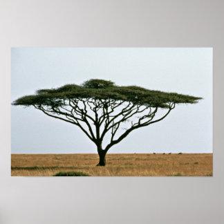 Umbrella Thorn Acacia Tree Poster