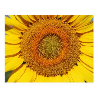 Umbrian Sunflower UpClose Postcard