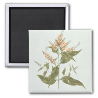 Umtar (Buddleia polystachya) (w/c over graphite on 2 Inch Square Magnet
