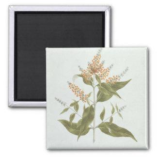 Umtar (Buddleia polystachya) (w/c over graphite on Fridge Magnet