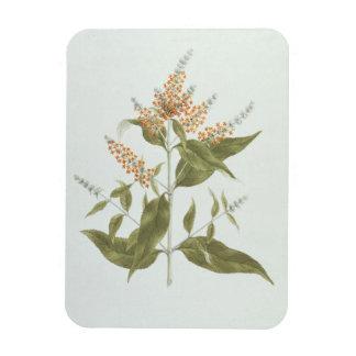 Umtar (Buddleia polystachya) (w/c over graphite on Rectangular Photo Magnet