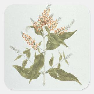 Umtar (Buddleia polystachya) (w/c over graphite on Square Sticker