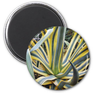 Un agavo no azul del cactus del agavo sin embargo imán para frigorifico