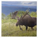 Un alce grande del toro se coloca entre sauces azulejos