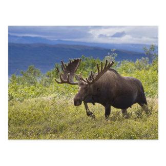 Un alce grande del toro se coloca entre sauces tarjetas postales
