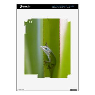 Un anole verde es un lagarto arbóreo iPad 3 pegatina skin