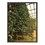 Un árbol de limón, Limone, Garda, lago de, vintag  Postal