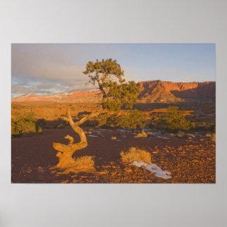 Un árbol del osteosperma del Juniperus del enebro Impresiones