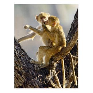 Un babuino amarillo joven (cynocephalus del Papio) Postales