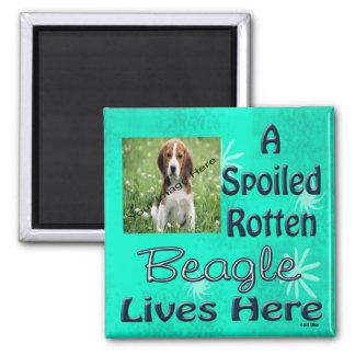 Un beagle putrefacto estropeado vive aquí imán cuadrado