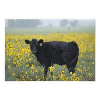 Un becerro en medio de los girasoles del Nebraska Fotografía