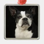 Un Bosten más viejo Terrier en fondo negro Ornamento Para Reyes Magos
