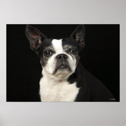 Un Bosten más viejo Terrier en fondo negro Impresiones