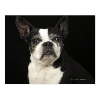 Un Bosten más viejo Terrier en fondo negro Postales