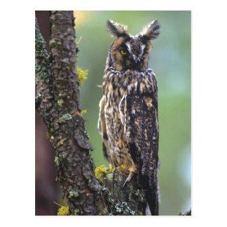 Un búho largo-espigado se encaramó en una rama de  postales