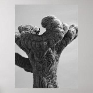 Un cactus raro del Saguaro Poster