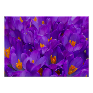 Un campo de azafranes púrpuras póster