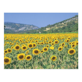 un campo de girasoles tarjeta postal