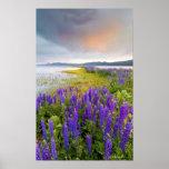 Un campo de los wildflowers del Lupine en la orill Impresiones