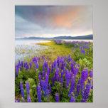 Un campo de los wildflowers del Lupine en la orill Posters